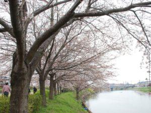 埼玉県蓮田市の桜