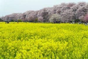 埼玉県幸手市権現堂堤の桜