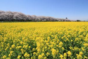 埼玉県幸手市権現堂堤の菜の花