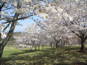 埼玉県熊谷市の桜
