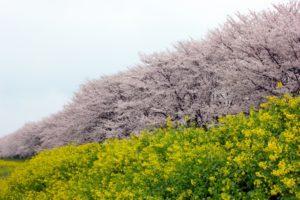 埼玉県比企郡吉見町の桜の風景