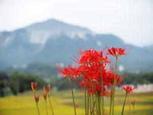 埼玉県秩父郡横瀬町の武甲山と彼岸花