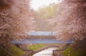 杉並区善福寺緑地公園 の桜