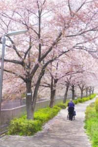 練馬区石神井川の桜