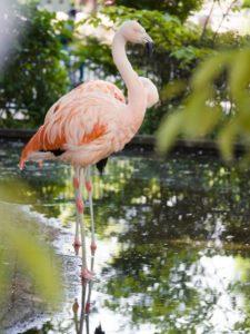 板橋区のこども動物園のフラミンゴ