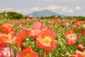 下妻市のポピー畑と筑波山