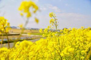下妻市の菜の花畑