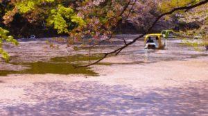 武蔵野市井の頭公園の桜