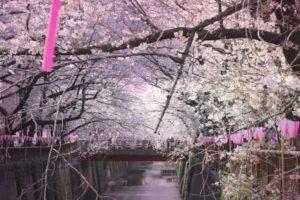目黒区青葉台散歩道の桜