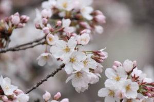 福生市の桜