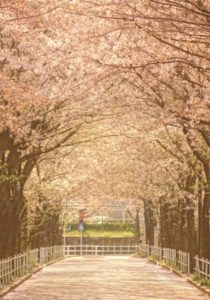 調布市の桜のトンネル