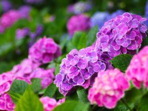 河内町の花アジサイ