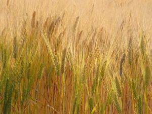 小山市内の麦畑
