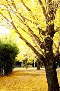 高根沢町の木イチョウ