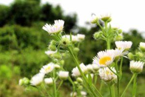 山武市の花野菊
