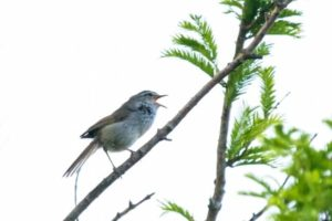 匝瑳市の鳥ウグイス