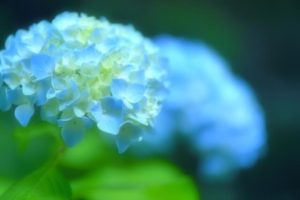 旭市の花アジサイ
