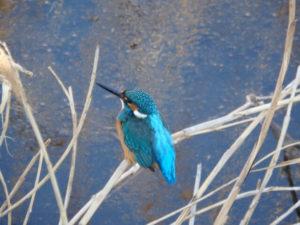 町田市の鳥カワセミ