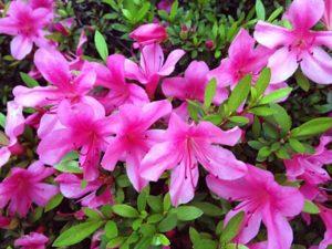 睦沢町の花サツキ