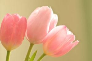 匝瑳市の花チューリップ