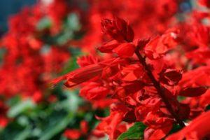 富里市の花サルビア