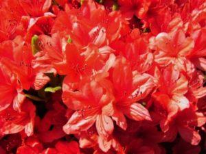 邑楽町の花ヤマツツジ