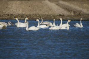 印西市印旛沼の白鳥