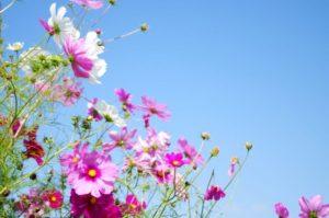 大網白里市の花コスモス