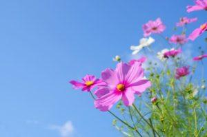 印西市の花コスモス