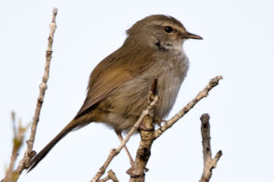 稲敷市の鳥ウグイス