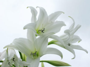 結城市の花・ユリ