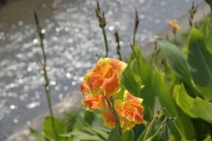 境町の花カンナ