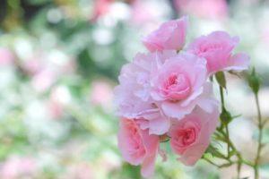 神崎町の花バラ