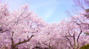 横芝光町の花サクラ