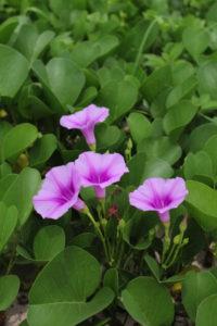 長生村の花ハマヒルガオ
