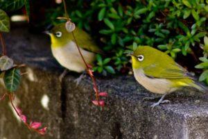 神崎町の鳥メジロ