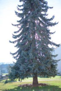 日の出町の木モミ