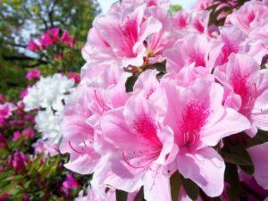 伊勢崎市の春の花ツツジ