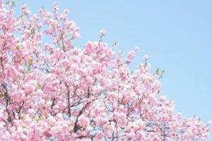 阿見町の木サクラ