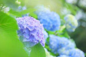 開成町の花アジサイ