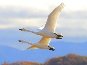 龍ケ崎市の鳥ハクチョウ