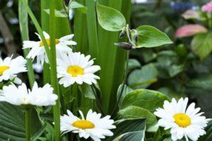 ひたちなか市の花ハマギク