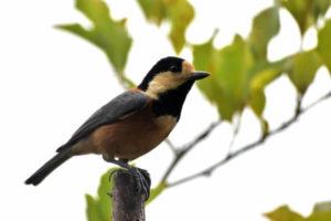 二宮町の鳥ヤマガラ