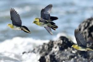 大磯町の鳥アオバト