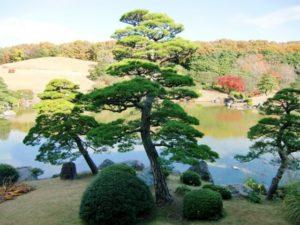 東海村の木クロマツ