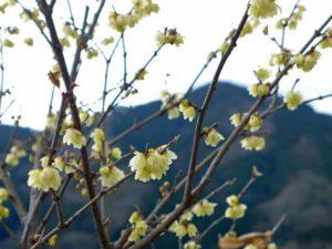 松田町の蝋梅まつり