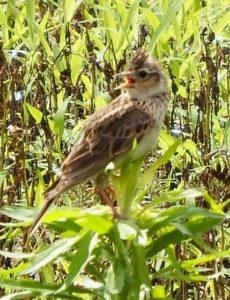 石岡市の鳥ヒバリ