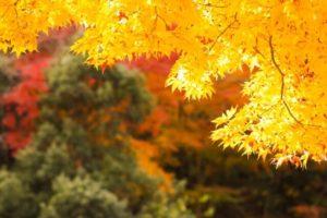 富岡市の木もみじ