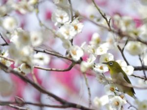 大井町の鳥メジロ