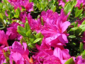 焼津市の花サツキ